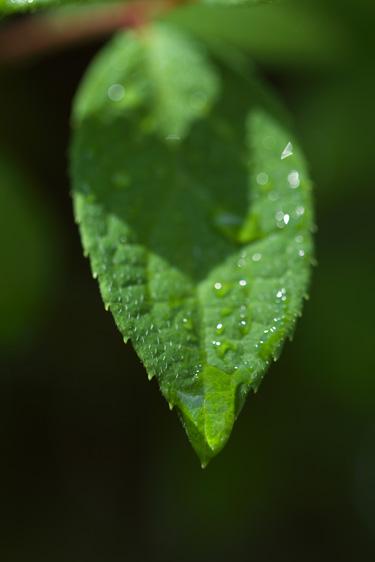 葉っぱに付いた水滴