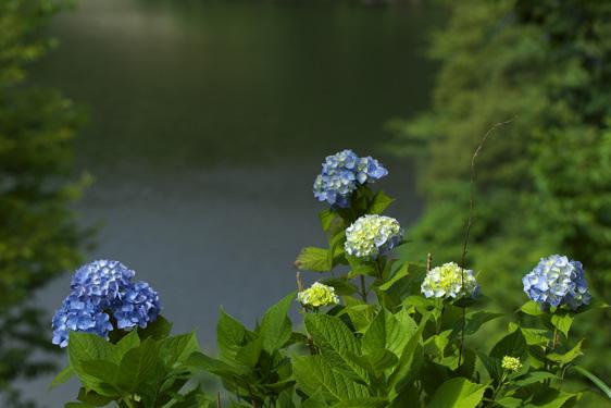 湖畔の紫陽花