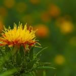 長南町が元祖かもしれない、べに花を見てきたった。