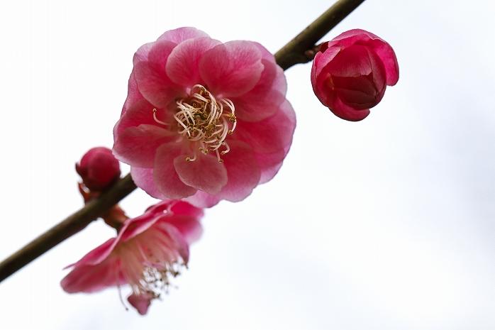 野見金(のみがね)の河津桜はもう少しで見頃のようです
