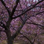 さすがに河津桜が満開だと絵になりますなあ。野見金公園へ。
