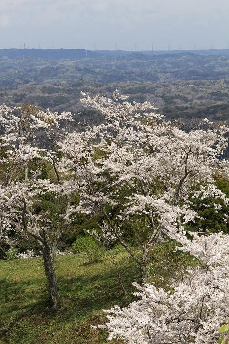 野見金の、桜の森の満開の下