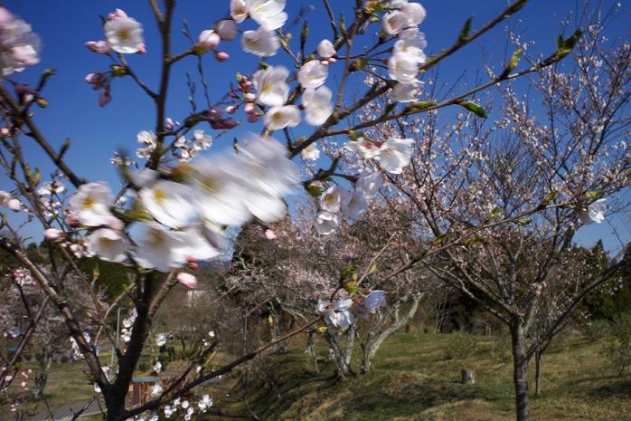野見金公園の桜が満開になるのは今週末くらいかなあ。