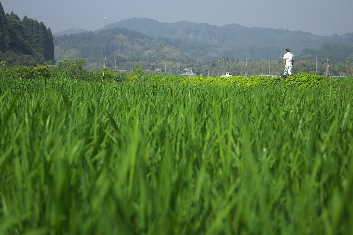 田んぼの稲ってあっという間に大きくなっちゃうんですな。