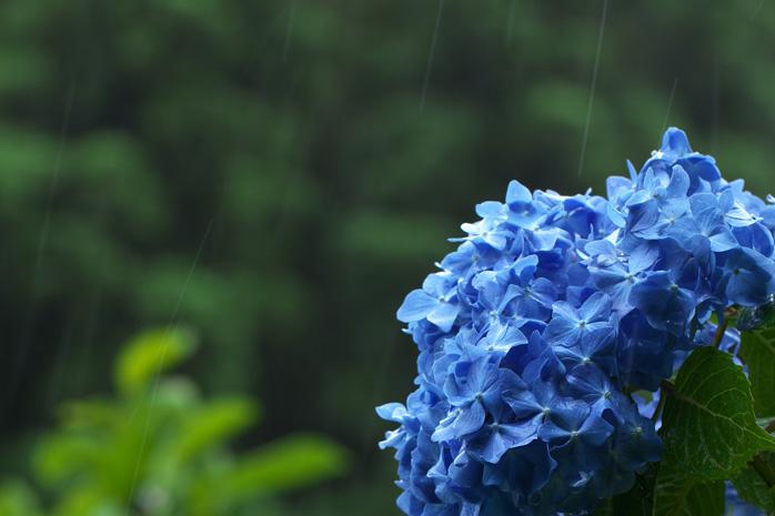 雨の日にはアジサイを撮って