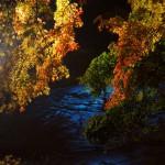くらもち滝の里のライトアップもみじを見てきたった。