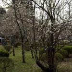 茂原公園で梅を観賞。見頃になるのはあと一週間かそこらだろうかね。