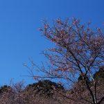 野見金の河津桜は何分咲き也や