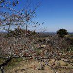 野見金のソメイヨシノは来週末(4月5日前後)くらいだろうか。