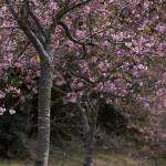 野見金の、河津の桜の花の下。