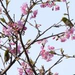 野見金の河津桜の咲くころに