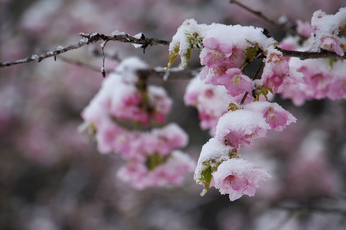 野見金の 河津桜の 雪化粧