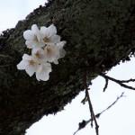 野見金公園の桜は5分咲きってところでした