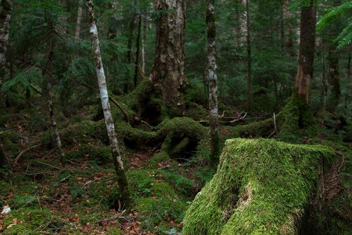 まるで屋久島のような白駒の池の苔生す森(屋久島行ったことないけど)