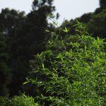 竹の葉光る