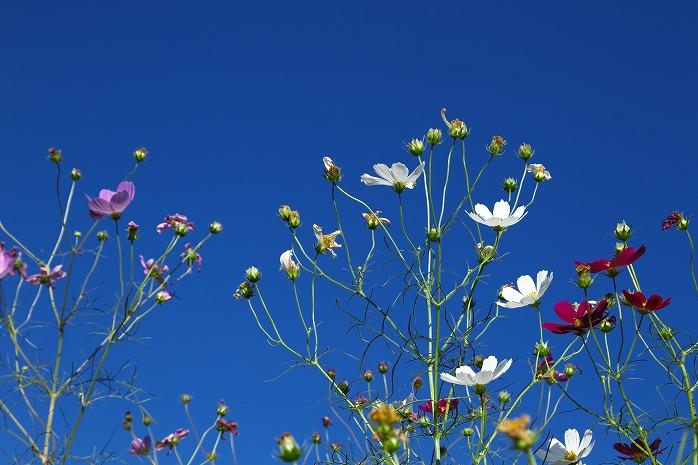 密集して咲く長南町のコスモスwwww