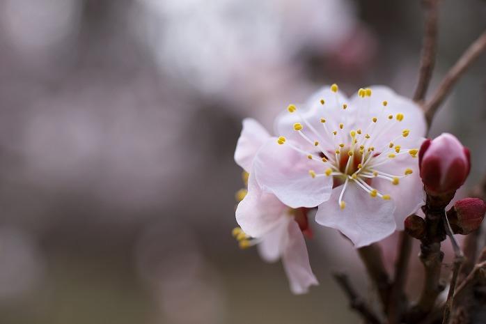 長生フィルム会さんの写真展、茂原公園の梅が見頃