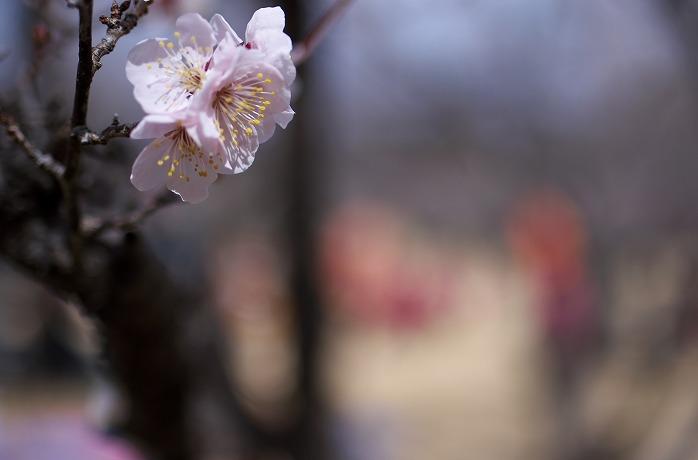 梅まつり開催中のリソル生命の森リゾートへ