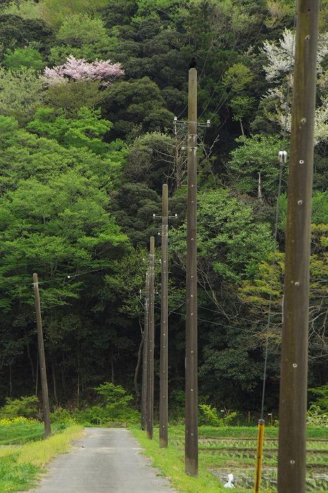 野の緑 染め残してか 山櫻(パクリです)