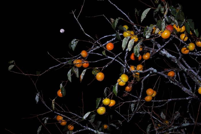 柿の実が多いと冬が寒い?