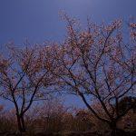 野見金公園の河津桜は今が見頃です