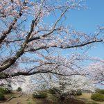 辰巳中央公園の桜