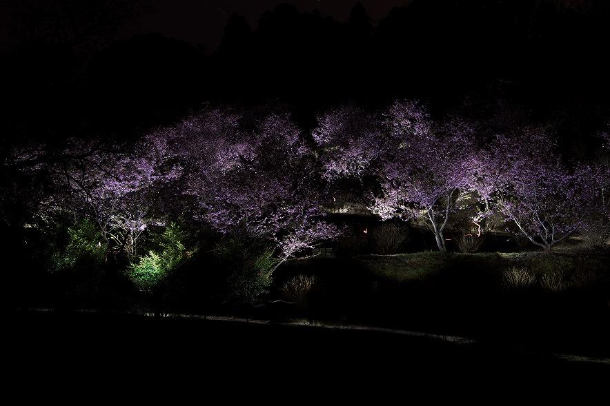 野見金公園の河津桜でコズミックフロント☆ヒーリング