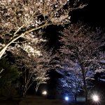 野見金公園の桜、初のライトアップ
