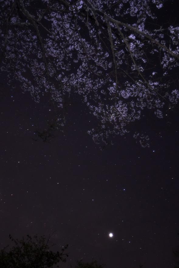 野見金公園 星と桜