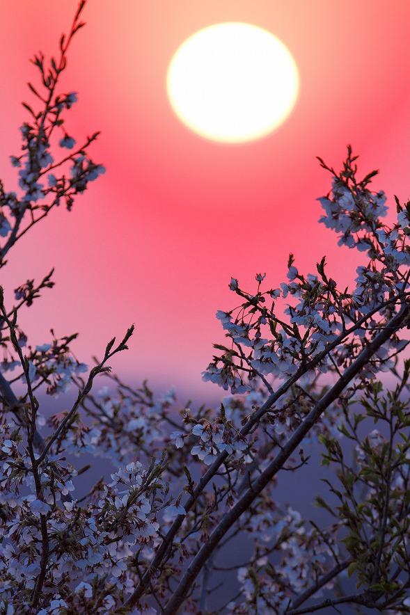 野見金公園、日の出の桜