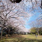 鷺沼城址公園は見渡す限りの満開の桜だった