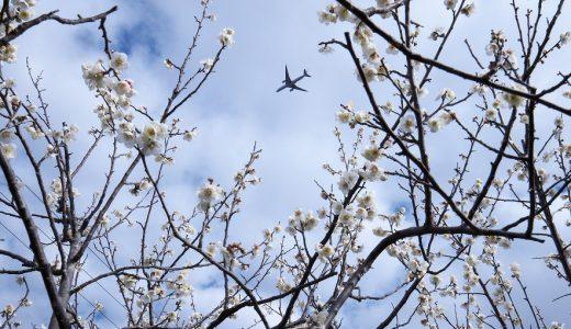 坂田城跡梅林で飛行機を捕獲