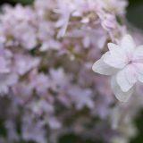 秋に咲くアジサイの花