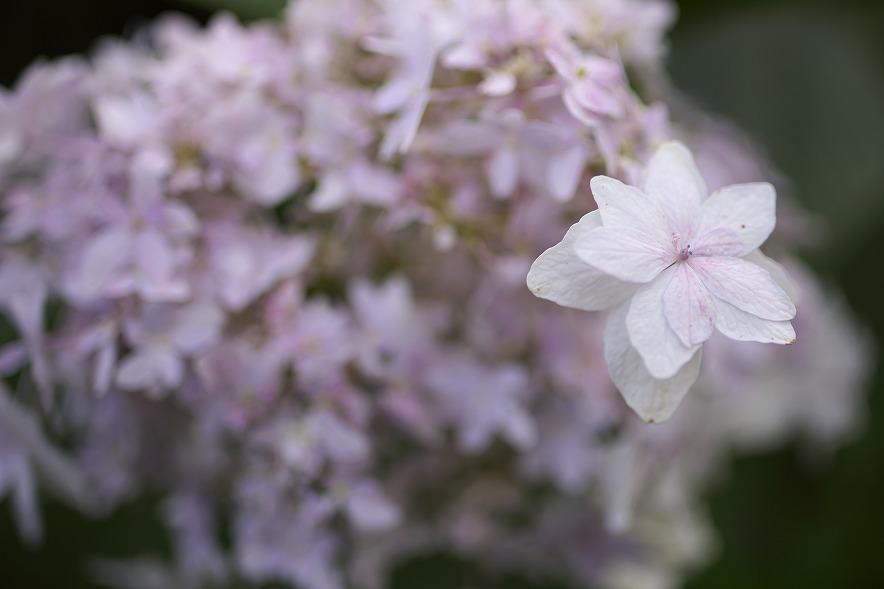 秋に咲くアジサイ
